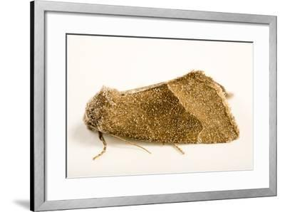 Frothy moth, Plagiomimicus spumosum-Joel Sartore-Framed Photographic Print