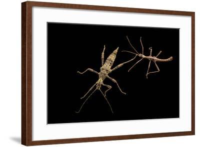 Trachyaretaon species at the Budapest Zoo.-Joel Sartore-Framed Photographic Print