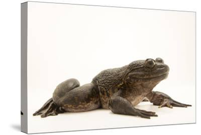 Giant slippery frog, Conraua robusta, from the wild.-Joel Sartore-Stretched Canvas Print