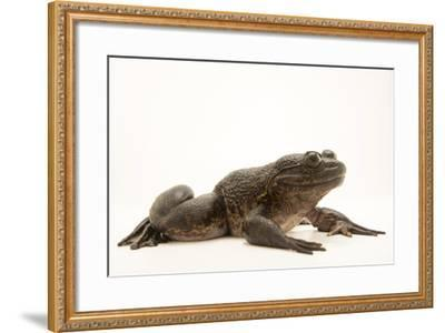 Giant slippery frog, Conraua robusta, from the wild.-Joel Sartore-Framed Photographic Print