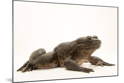 Giant slippery frog, Conraua robusta, from the wild.-Joel Sartore-Mounted Photographic Print