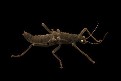 Golden eyed stick insect, Peruphasma schultei, at the Exmoor Zoo.-Joel Sartore-Framed Photographic Print
