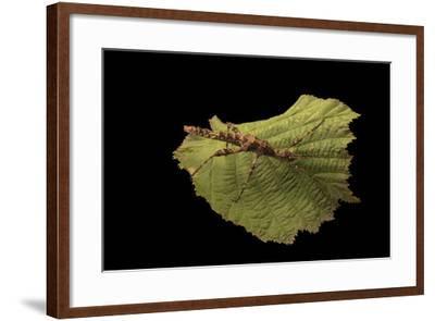 A thorny walking stick, Trachyaretaon brueckneri, at the Exmoor Zoo.-Joel Sartore-Framed Photographic Print