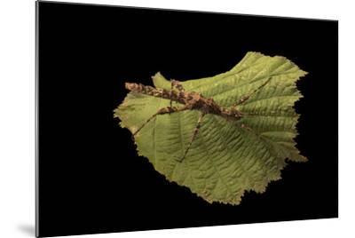 A thorny walking stick, Trachyaretaon brueckneri, at the Exmoor Zoo.-Joel Sartore-Mounted Photographic Print