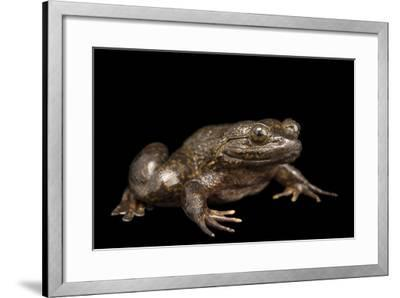 Giant slippery frog, Conraua robusta, from the wild.-Joel Sartore-Framed Photographic Print