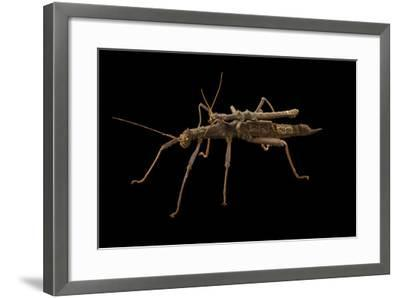 Giant thorn cricket, Trachyaretaon carmelae, at the Budapest Zoo.-Joel Sartore-Framed Photographic Print