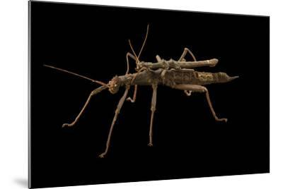 Giant thorn cricket, Trachyaretaon carmelae, at the Budapest Zoo.-Joel Sartore-Mounted Photographic Print