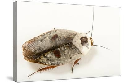 Chrome roach, Gyna caffrorum, at the Budapest Zoo.-Joel Sartore-Stretched Canvas Print