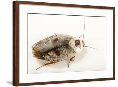 Chrome roach, Gyna caffrorum, at the Budapest Zoo.-Joel Sartore-Framed Photographic Print