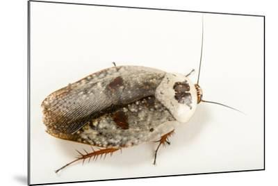 Chrome roach, Gyna caffrorum, at the Budapest Zoo.-Joel Sartore-Mounted Photographic Print