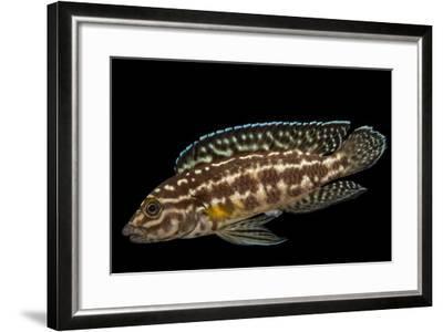 Marlieri cichlid, Julidochromis marlieri-Joel Sartore-Framed Photographic Print