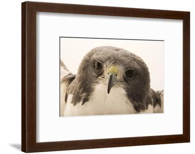 A white tailed hawk, Geranoaetus albicaudatus hypospodius-Joel Sartore-Framed Photographic Print
