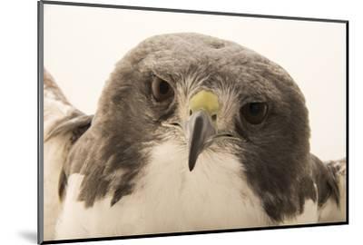 A white tailed hawk, Geranoaetus albicaudatus hypospodius-Joel Sartore-Mounted Photographic Print