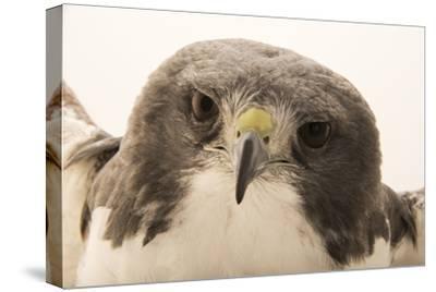 A white tailed hawk, Geranoaetus albicaudatus hypospodius-Joel Sartore-Stretched Canvas Print