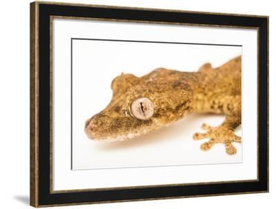 Guenther's leaf tail gecko, Uroplatus guentheri, from a private collection.-Joel Sartore-Framed Photographic Print