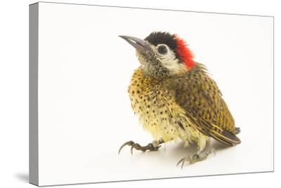 A female spot breasted woodpecker, Colaptes punctigula-Joel Sartore-Stretched Canvas Print