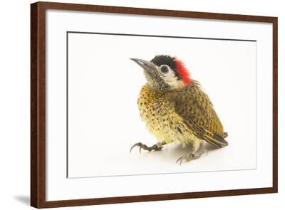 A female spot breasted woodpecker, Colaptes punctigula-Joel Sartore-Framed Photographic Print