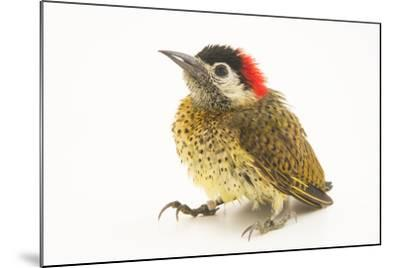 A female spot breasted woodpecker, Colaptes punctigula-Joel Sartore-Mounted Photographic Print