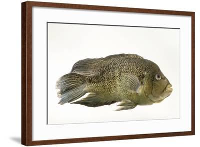 Sinaloan cichlid, Cichlasoma beani-Joel Sartore-Framed Photographic Print