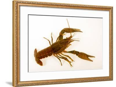 Deceitful crayfish, Procambarus fallax, collected at Beecher Springs Run-Joel Sartore-Framed Photographic Print