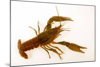Deceitful crayfish, Procambarus fallax, collected at Beecher Springs Run-Joel Sartore-Mounted Photographic Print