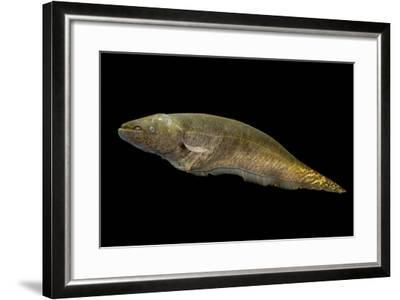 Banded knifefish, Gymnotus carapo, at L'aquarium tropical du palais de la Porte Doree-Joel Sartore-Framed Photographic Print
