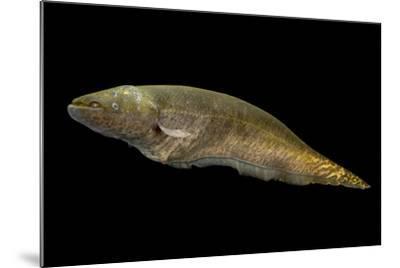 Banded knifefish, Gymnotus carapo, at L'aquarium tropical du palais de la Porte Doree-Joel Sartore-Mounted Photographic Print