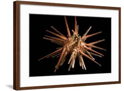 Slate pencil urchin, Eucidaris thouarsii, at Aquarium of the Pacific.-Joel Sartore-Framed Photographic Print