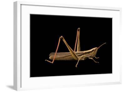 Slant faced grasshopper, Mermiria bivittata-Joel Sartore-Framed Photographic Print