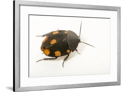 Orange domino roach, Therea regularis, at the Budapest Zoo.-Joel Sartore-Framed Photographic Print