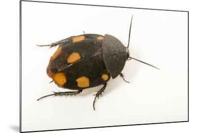 Orange domino roach, Therea regularis, at the Budapest Zoo.-Joel Sartore-Mounted Photographic Print