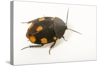 Orange domino roach, Therea regularis, at the Budapest Zoo.-Joel Sartore-Stretched Canvas Print
