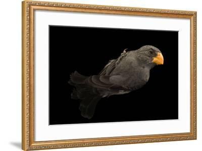Slate colored seedeater, Sporophila schistacea-Joel Sartore-Framed Photographic Print