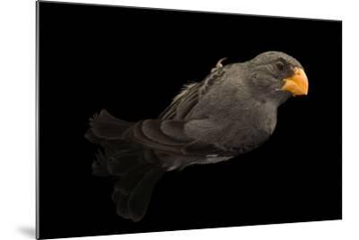 Slate colored seedeater, Sporophila schistacea-Joel Sartore-Mounted Photographic Print
