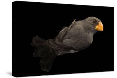 Slate colored seedeater, Sporophila schistacea-Joel Sartore-Stretched Canvas Print