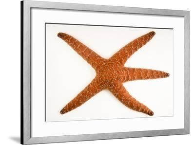 Ochre sea star, Pisaster ochraceus, at Aquarium of the Pacific.-Joel Sartore-Framed Photographic Print