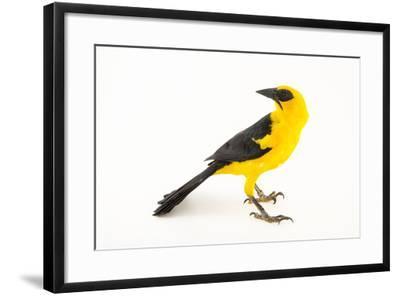Oriole blackbird, Gymnomystax mexicanus-Joel Sartore-Framed Photographic Print