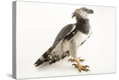 A male harpy eagle, Harpia harpyja-Joel Sartore-Stretched Canvas Print