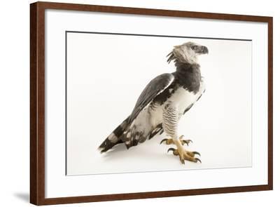 A male harpy eagle, Harpia harpyja-Joel Sartore-Framed Photographic Print