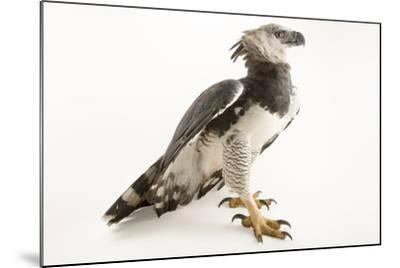 A male harpy eagle, Harpia harpyja-Joel Sartore-Mounted Photographic Print