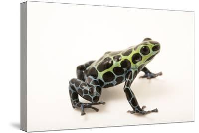 Splash-back poison frog, Ranitomeya variabilis, at the Houston Zoo.-Joel Sartore-Stretched Canvas Print