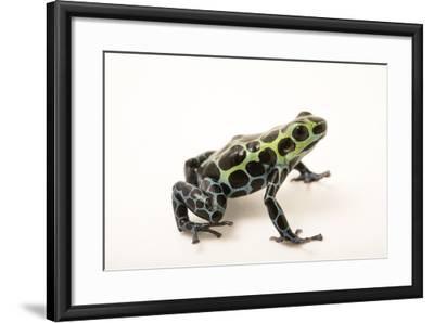 Splash-back poison frog, Ranitomeya variabilis, at the Houston Zoo.-Joel Sartore-Framed Photographic Print