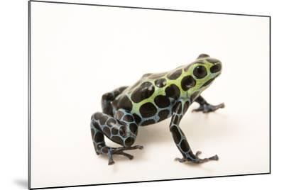 Splash-back poison frog, Ranitomeya variabilis, at the Houston Zoo.-Joel Sartore-Mounted Photographic Print