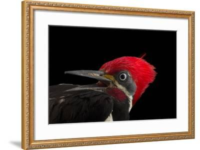 A male lineated woopecker, Dryocopus lineatus-Joel Sartore-Framed Photographic Print