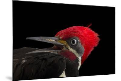 A male lineated woopecker, Dryocopus lineatus-Joel Sartore-Mounted Photographic Print