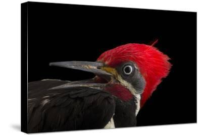 A male lineated woopecker, Dryocopus lineatus-Joel Sartore-Stretched Canvas Print