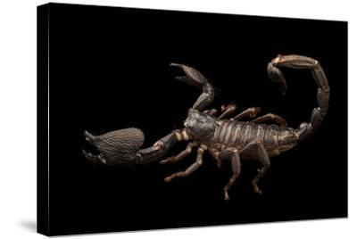Asian forest scorpion, Heterometrus swammerdami, at the Exmoor Zoo.-Joel Sartore-Stretched Canvas Print