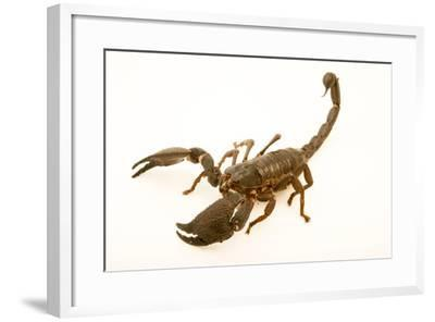 Asian forest scorpion, Heterometrus swammerdami, at the Exmoor Zoo.-Joel Sartore-Framed Photographic Print