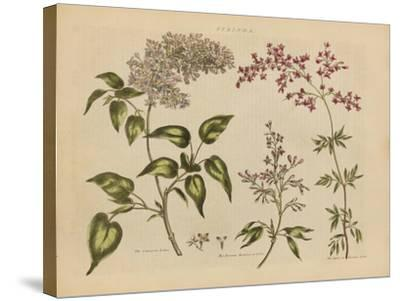 Herbal Botanical I-Wild Apple Portfolio-Stretched Canvas Print