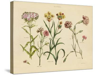 Herbal Botanical VIII-Wild Apple Portfolio-Stretched Canvas Print